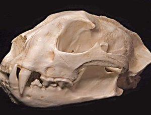 Asian Golden Cat Skulls Replicas Models
