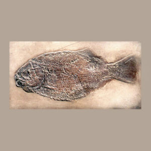 dapedius punctatus fossil replica