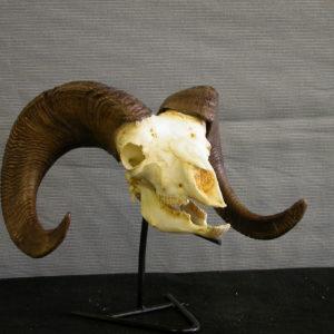 Bighorn sheep male skull