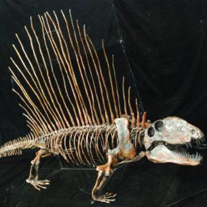dimetrodon limbatus hayashibara skeleton