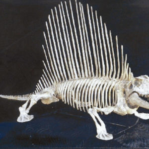 dimtrodon limbatus mounted skeleton