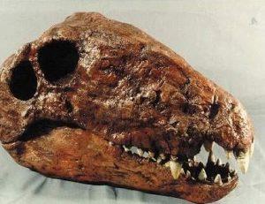 Dimetrodon limbatus BYU Skull