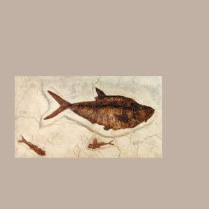 diplomystis dentatus fossil fish