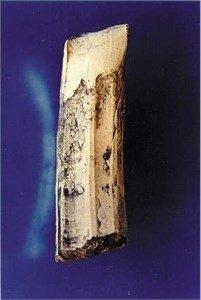 Diprotodon Tooth