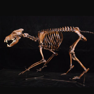 dire wolf skeleton replica