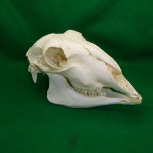 domestic sheep skull replica