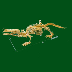 Platapus Skull Replicas