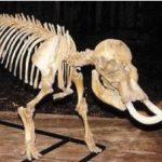 Dwarf Mammoth Skeleton