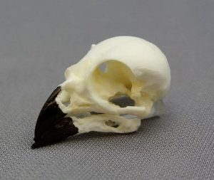 Small Ground Finch Bird Skull