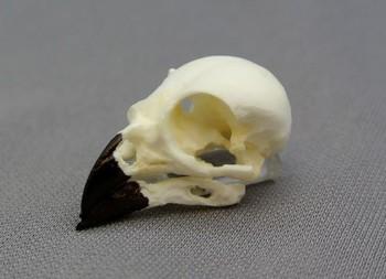 Small Ground Finch Bird Skull