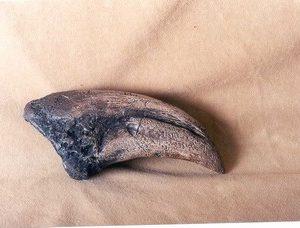 T Rex Dinosaur Toe Claw Fossil Replica