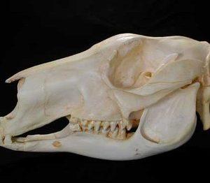 Red Adult Male Kangaroo Skulls Replicas Models