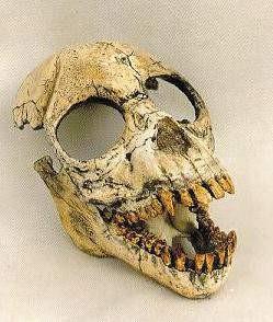 Pro-Consul Skulls Replicas Models