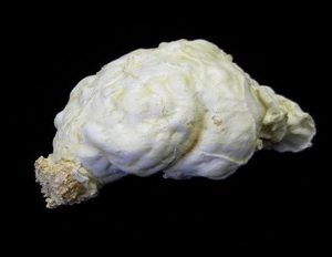 American Black Bear Brain Model Replica