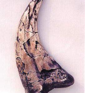 Utahraptor Dinosaur Claw Fossil