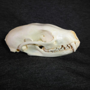 fisher martes female skull