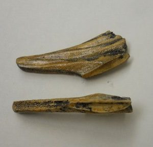 Duckbill Dinosaur Tooth Replicas Models