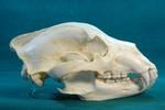 Mammals Skull Replicas