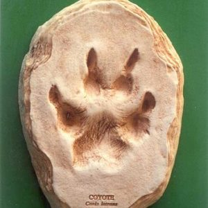 Little Critter Coyote Footprint Cast Replicas