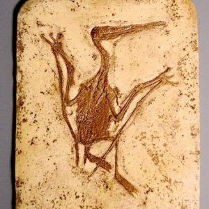 Pterodactylus Kochi Skeleton Plaques