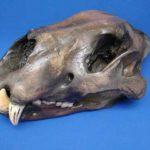 gWHNQ-KrVgI-ONOKY-American_lion_skull_cast_replica_models