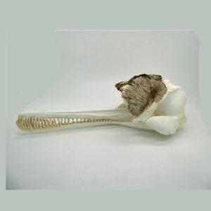 ganges river dolphin skull