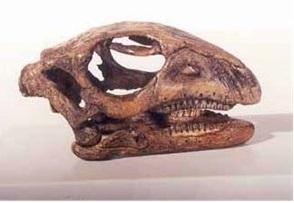 Gasparinisaura Cincosalternis Dinosaur Skull Replica