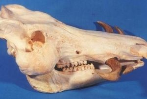 Giant Forest Hog Skull