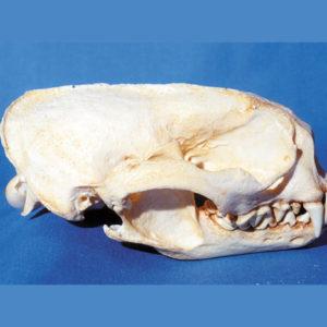 giant otter skull replica