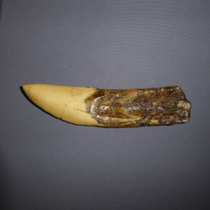 giganotosaurus dinosaur tooth replica facing right