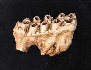 Gomphothere Tooth With Root