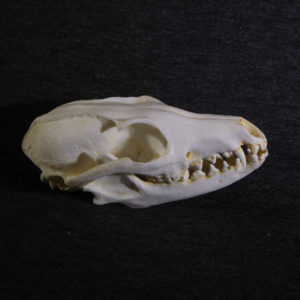 gray-fox-skull-replica