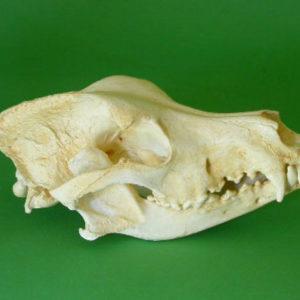 great dane dog skull replica