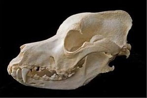 Great Dane Dog Skull