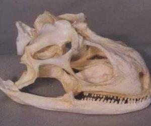 Green Iguana Skull