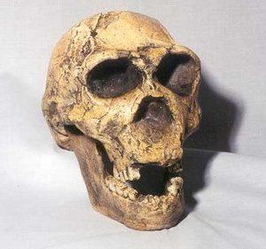 Homo Ergaster KNM-ER Skulls Replicas Models