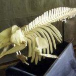 Pygmy Sperm Whale Skeleton