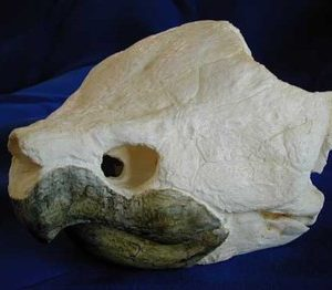 Alligator Snapping Turtle Skull