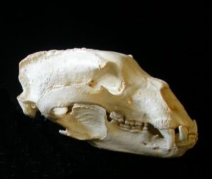 Black Bear California Record Skulls Replicas Models