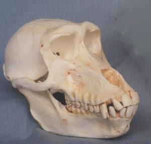 Hamadryas Baboon Adult Female Skulls Replica Model