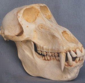 Hamadryas Baboon Adult Male Skulls