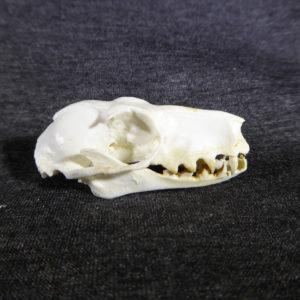 hammer headed female bat skull
