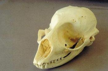 Harp Seal Skull