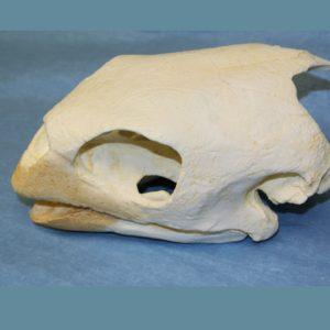 hawksbill sea turtle skull