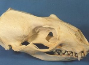Hookers New Zealand Auckland Sea Lion Skull Replica