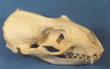 Hookers New Zealand Auckland Sea Lion Skull Replica
