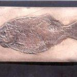 hsyXM-JIQuI-wDgDC-Dapedius_punctatus_fish_cast_plaque