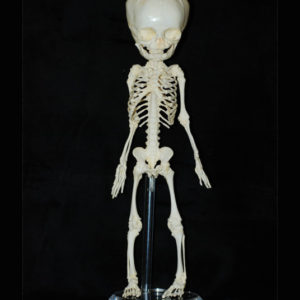 human-fetus-skeleton-replica