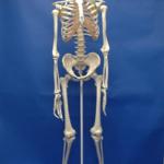 Human Adult Skeleton