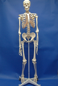 Human Adult Skeleton